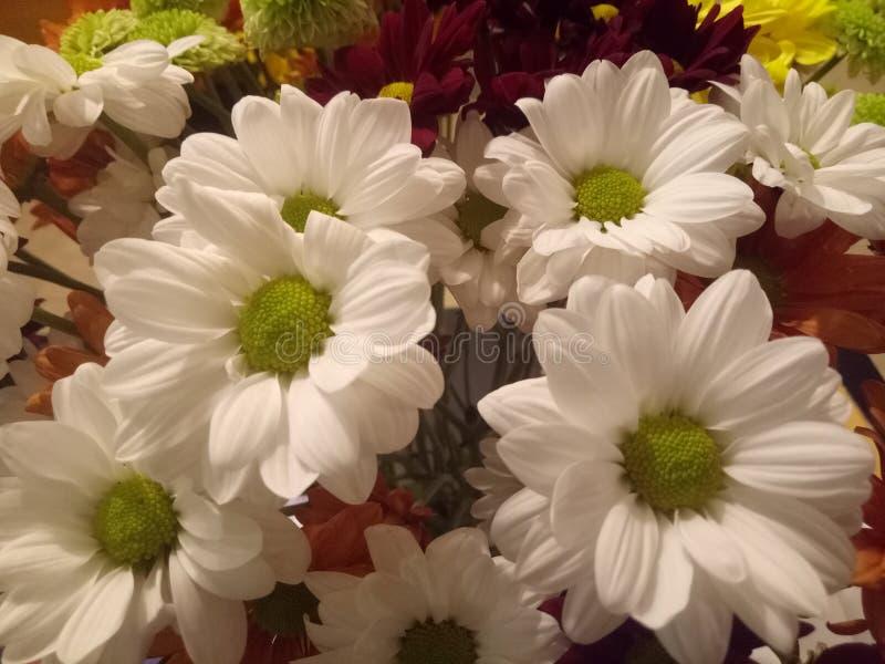 Африканский, составляют маргаритку Трансвааля, лепесток края лист имени aurantirca Gerbera голова много ligulate цветков Каждый ц стоковые фото