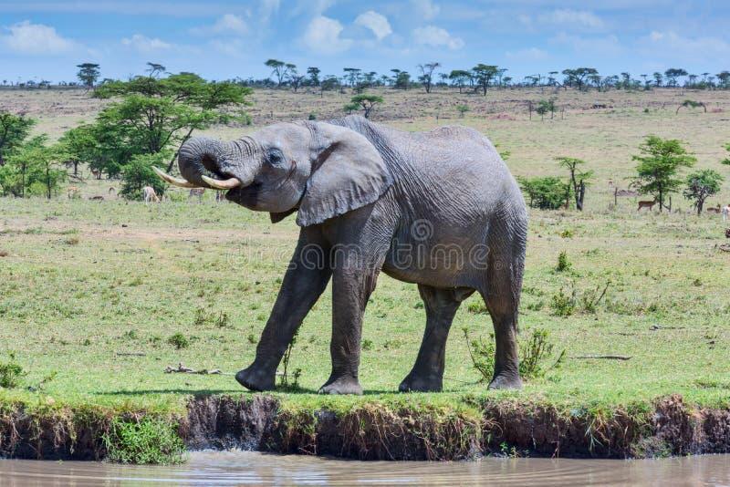 Африканский слон выпивая на потоке стоковое изображение rf