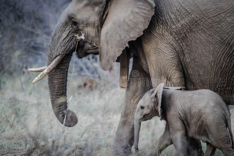 африканский слон икры