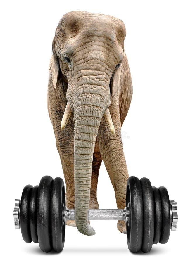 Африканский слон с гантелью стоковая фотография