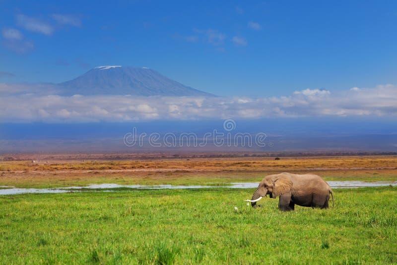 Африканский слон с Килиманджаро в предпосылке стоковое изображение