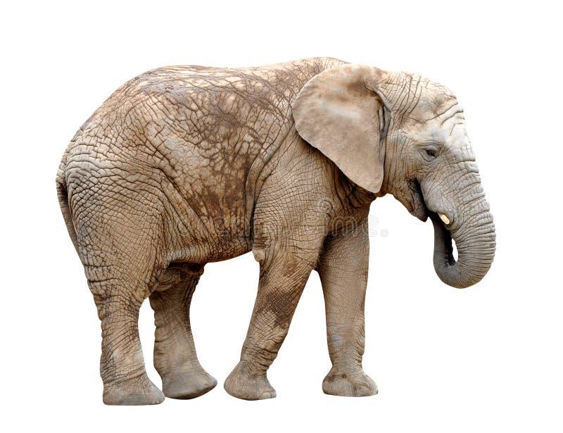 Африканский слон стоковая фотография