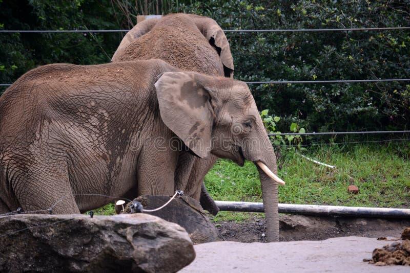 африканский слон стоковые фото