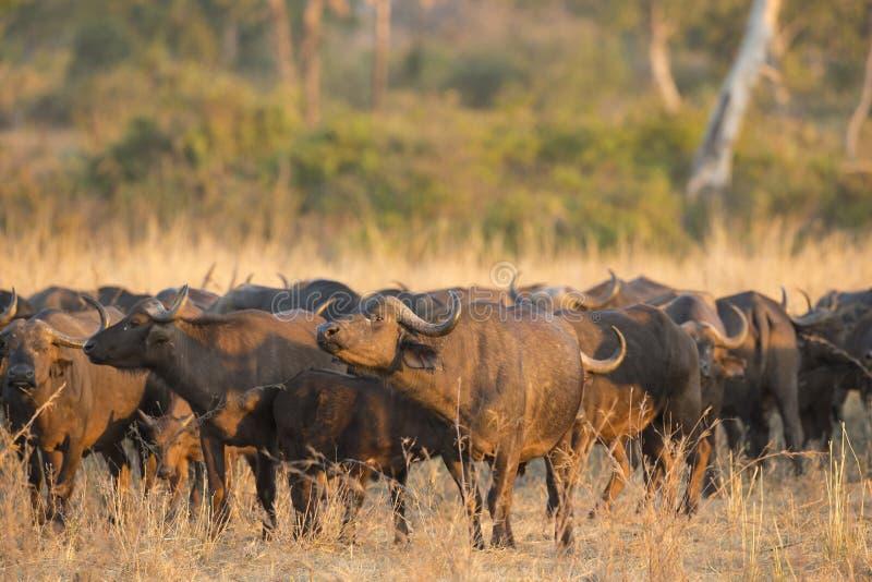 африканский табун буйвола стоковые фото