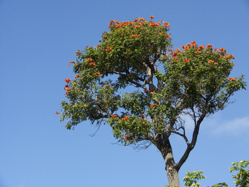 африканский тюльпан вала стоковое фото