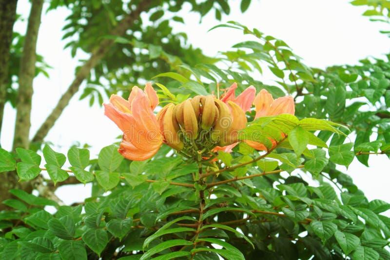 африканский тюльпан вала стоковая фотография rf