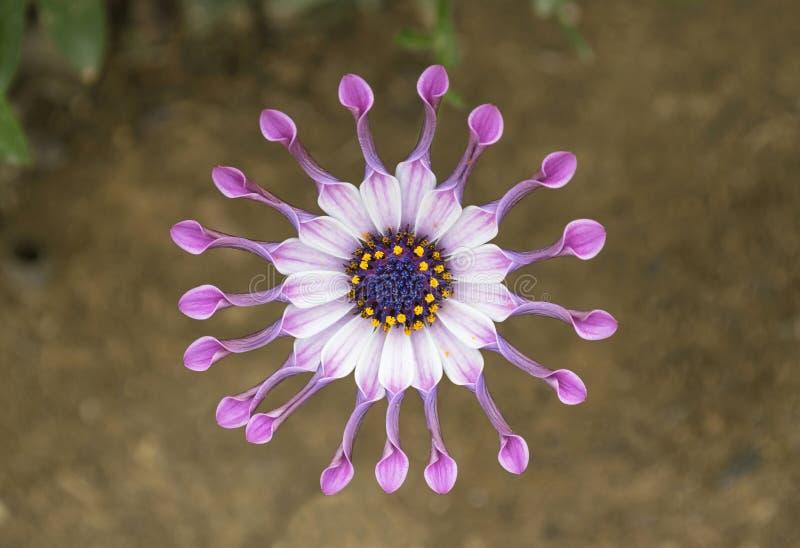 Африканский цветок маргаритки ложки Whirligig стоковые фотографии rf