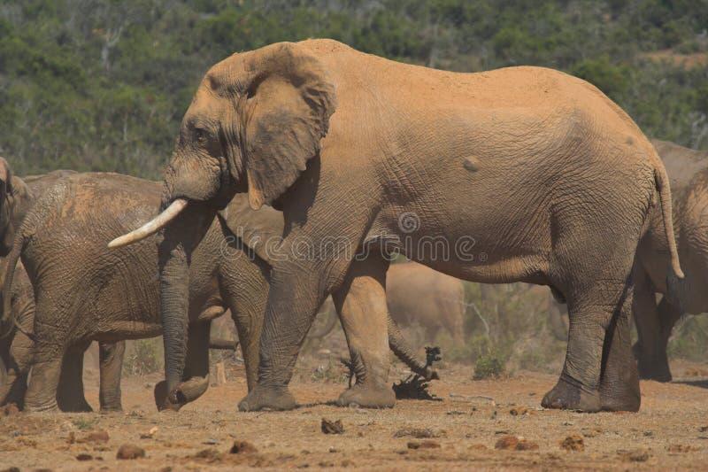 африканский шрам слона сражения стоковое изображение rf