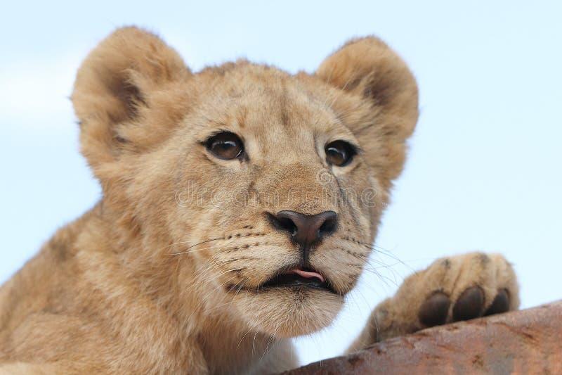 африканский львев новичка стоковая фотография