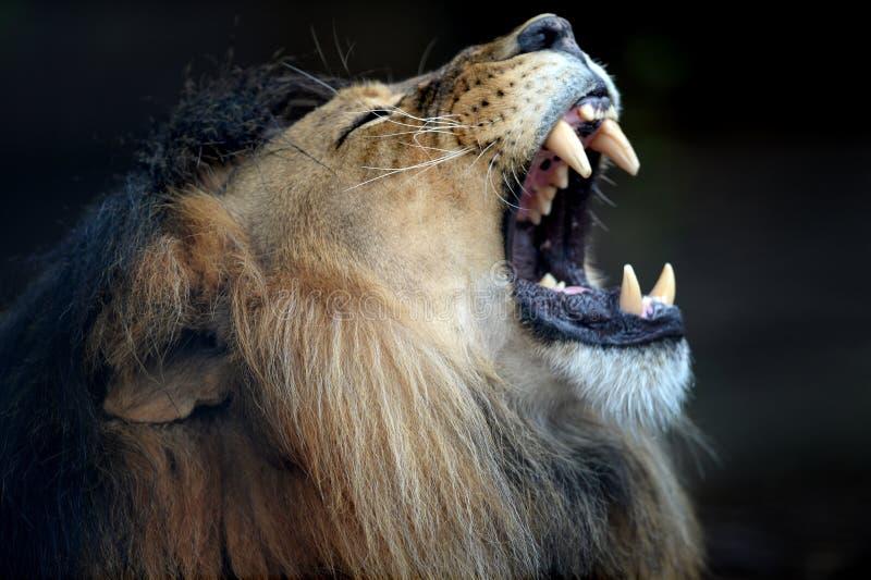 Download африканский львев стоковое изображение. изображение насчитывающей трава - 40588949