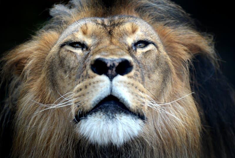 Download африканский львев стоковое фото. изображение насчитывающей больш - 40588960