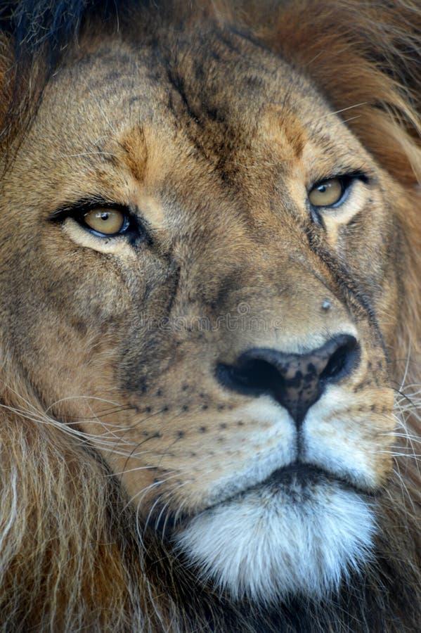 Download африканский львев стоковое фото. изображение насчитывающей мясоед - 40588964