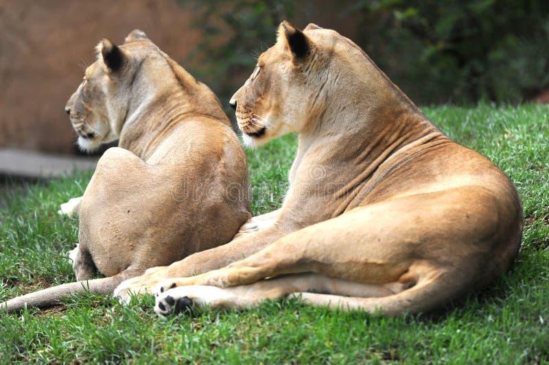 Download африканский львев стоковое фото. изображение насчитывающей охотник - 40588978