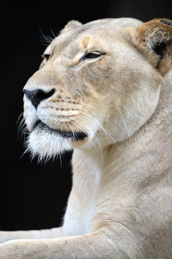 Download африканский львев стоковое изображение. изображение насчитывающей охотник - 40589013