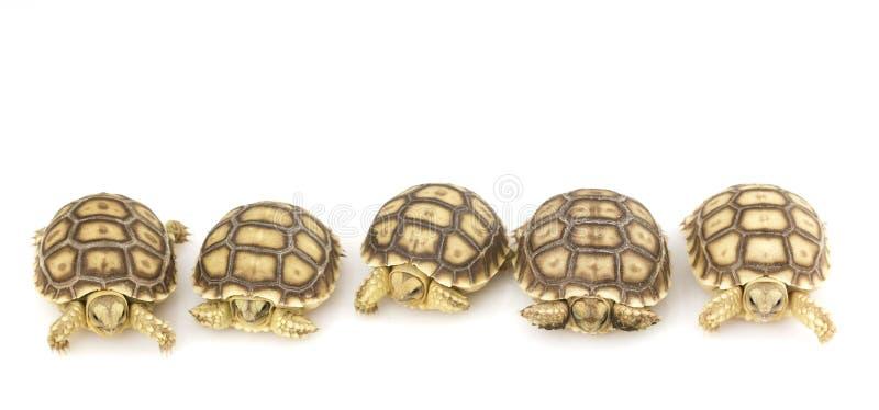 африканский geochelone пришпорил черепах sulcata стоковые изображения rf