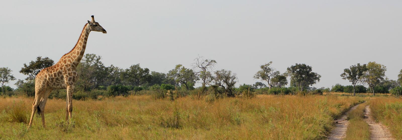 африканский giraffe стоковые изображения rf