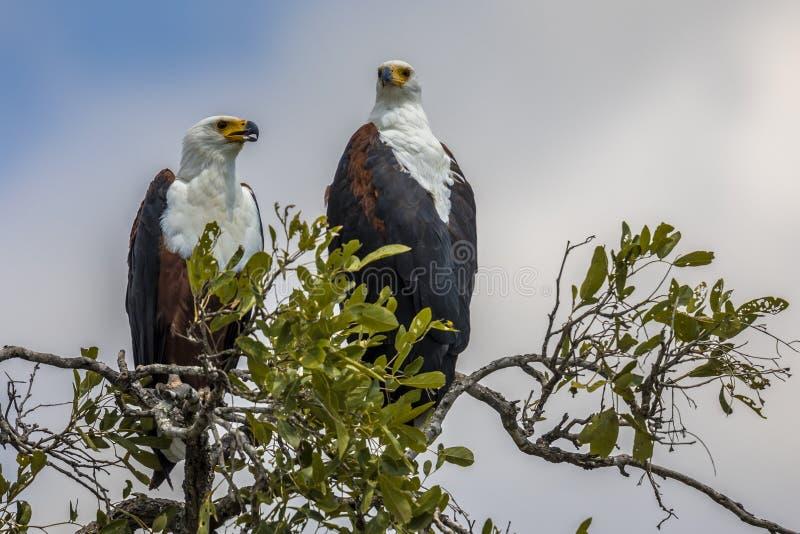 Африканский treetop пар орла рыб стоковые изображения