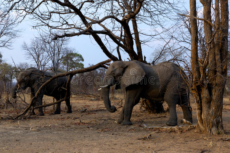 2 африканских слона стоковые фото
