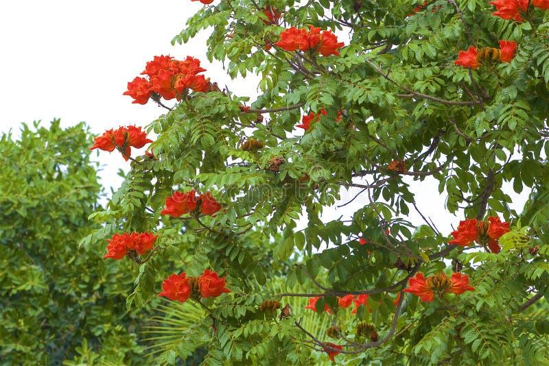 Африканское дерево тюльпана, Мексика стоковые изображения