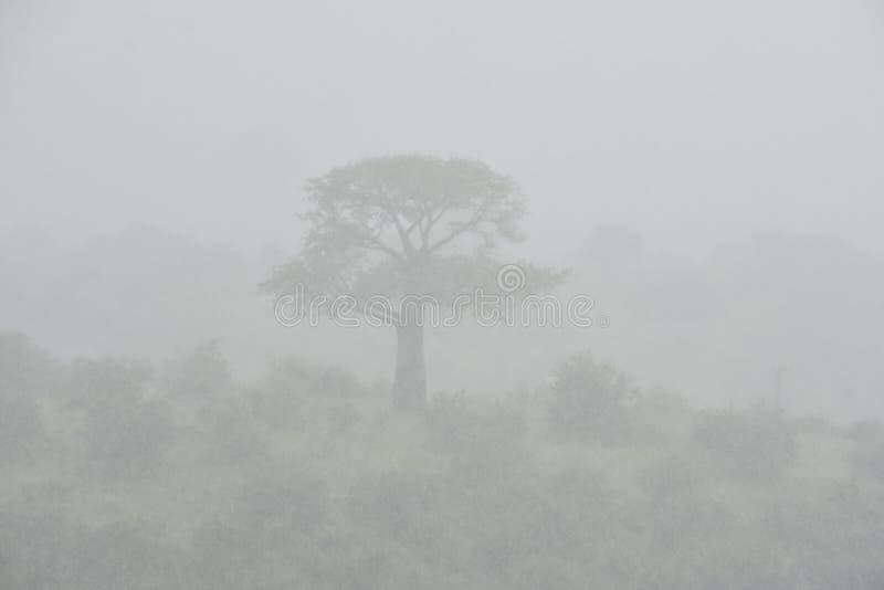 Африканское дерево в тумане стоковое фото rf