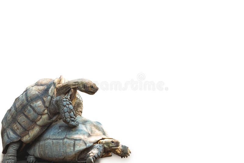 Африканское пришпоренное размножение черепахи стоковая фотография
