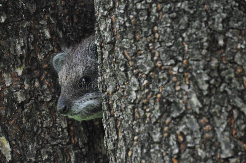 Африканское dassie дерева (кролик утеса) стоковое фото