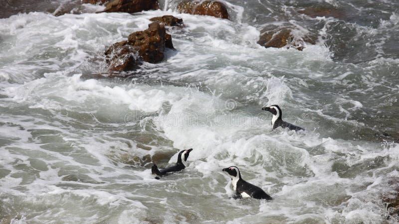 Африканское demersus spheniscus пингвина 3 на валунах приставает к берегу около плавания Кейптауна Южной Африки в пене воды океан стоковое фото