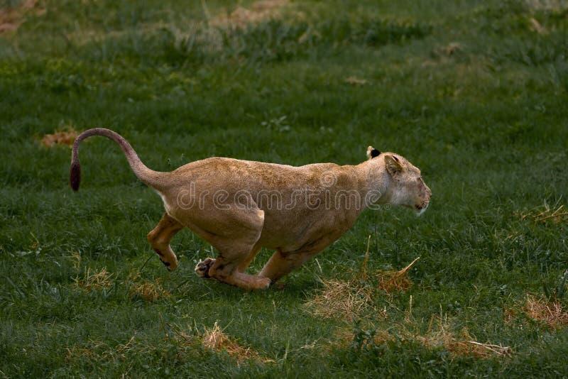 африканское lionness стоковые фотографии rf
