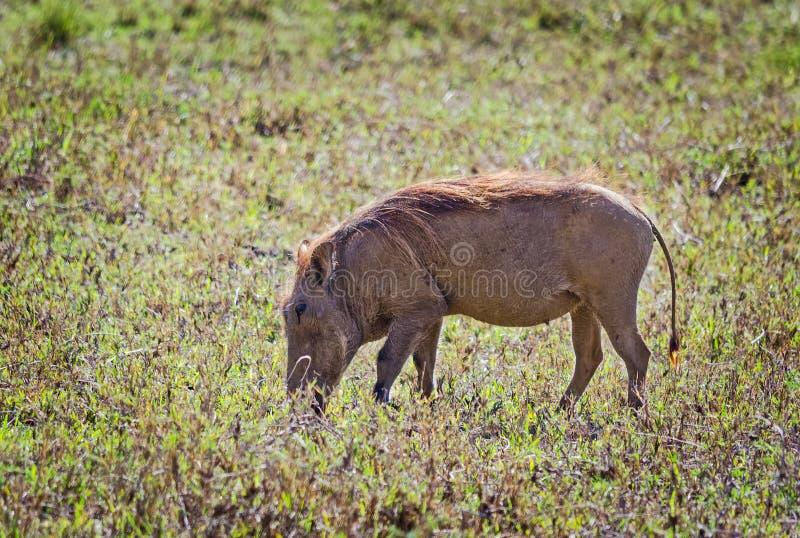 Африканское warthog Животные Svinoobraznoe африканца стоковые фото