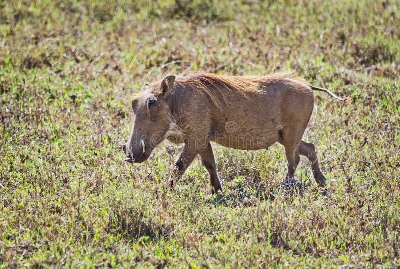Африканское warthog Животные Svinoobraznoe африканца стоковые изображения rf