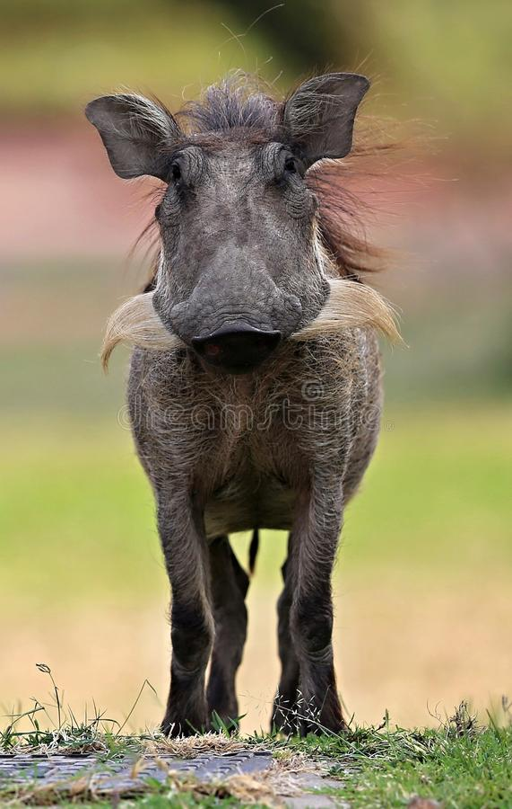 Африканское warthog лицом к лицу в красивой африканской среде обитания стоковые фото
