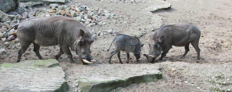 африканское warthog природы стоковые фотографии rf