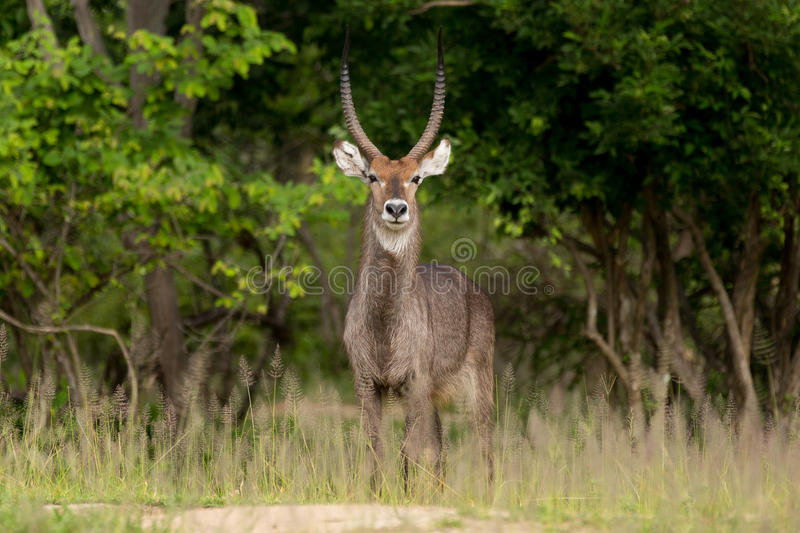 африканское waterbuck антилопы стоковые фотографии rf