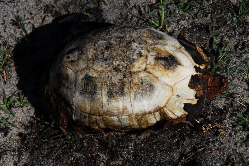 Африка, который сгорели тело черепахи на пляже около Кейптауна стоковое фото