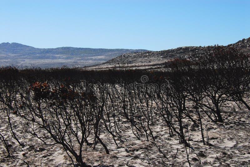 Африка сгорела лес Protea Fynbos на пляже около Capetow стоковые изображения