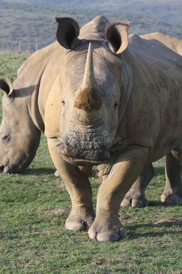 Африки носорога белизна на юг стоковая фотография