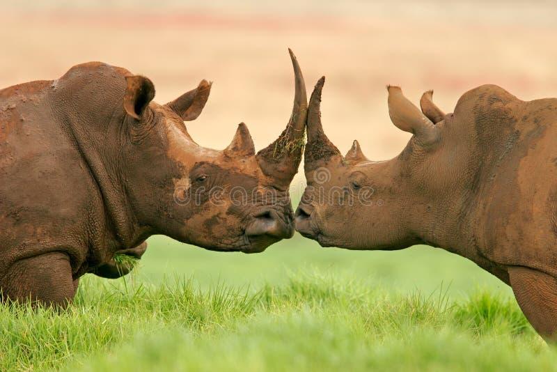 Африки rhinoceros белизна на юг стоковое фото rf