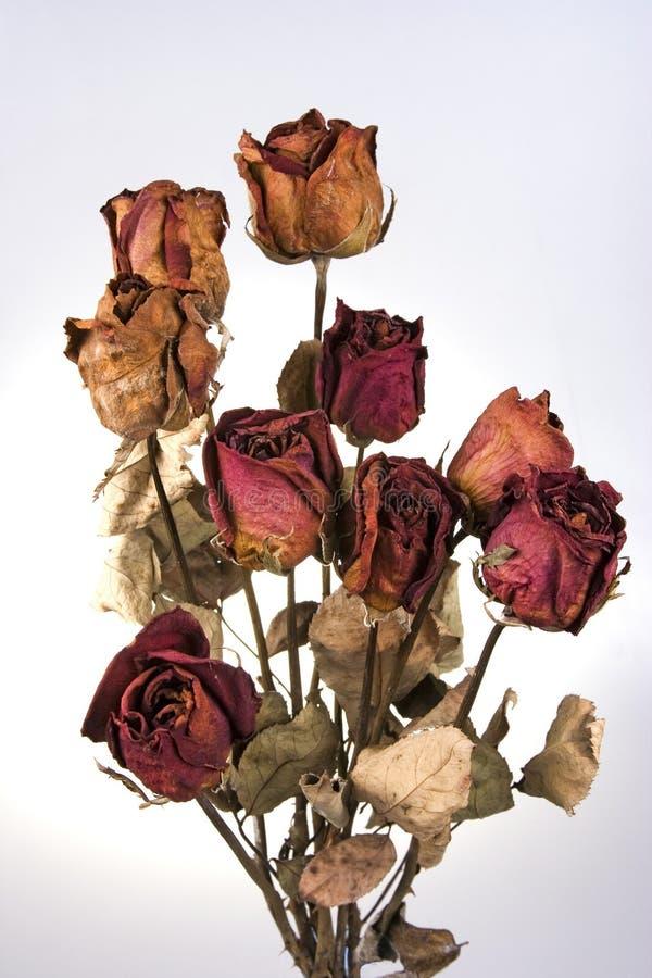 ая роза красного цвета стоковое изображение