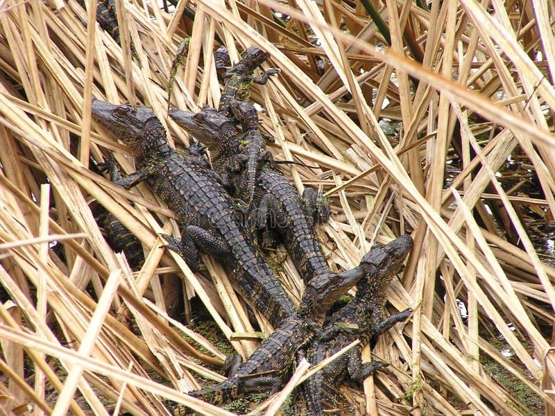 Аллигаторы младенца в гнезде стоковая фотография