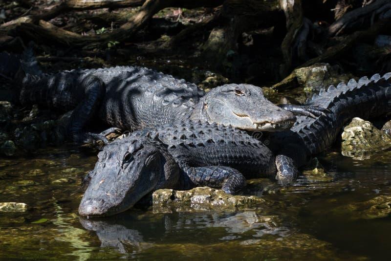 Аллигаторы отдыхая, большой заповедник Cypress национальный, Флорида стоковое изображение
