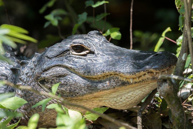 Аллигатор вытаращить, большой заповедник Cypress национальный, Флорида стоковое изображение rf