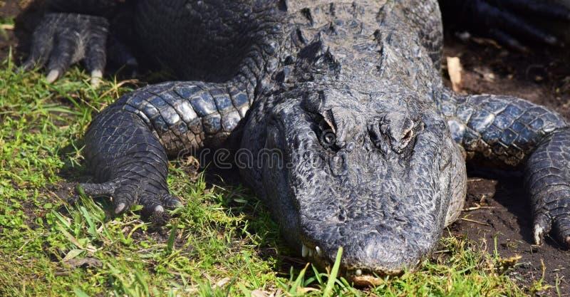Аллигатор греется в солнце стоковое изображение rf