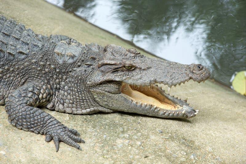 Download Аллигатор стоковое фото. изображение насчитывающей природа - 33729978