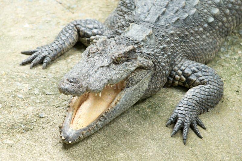 Download Аллигатор стоковое фото. изображение насчитывающей хищник - 33729982