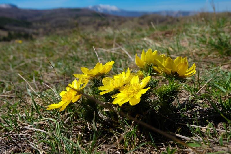 Адонис весной стоковая фотография