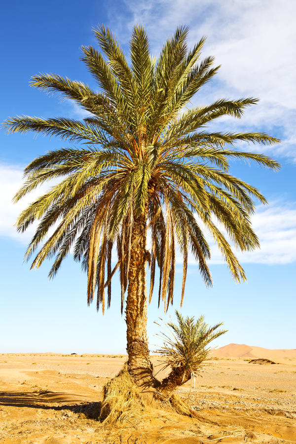 ладонь в оазисе пустыни стоковое изображение rf