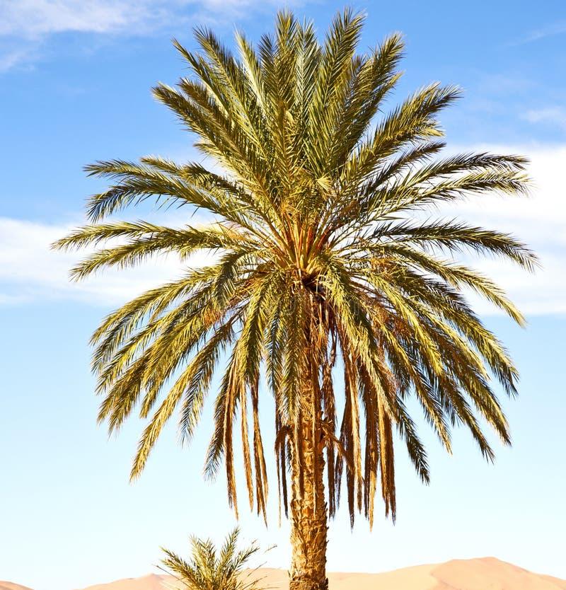 ладонь в дюне Марокко Сахары Африки пустыни стоковые изображения