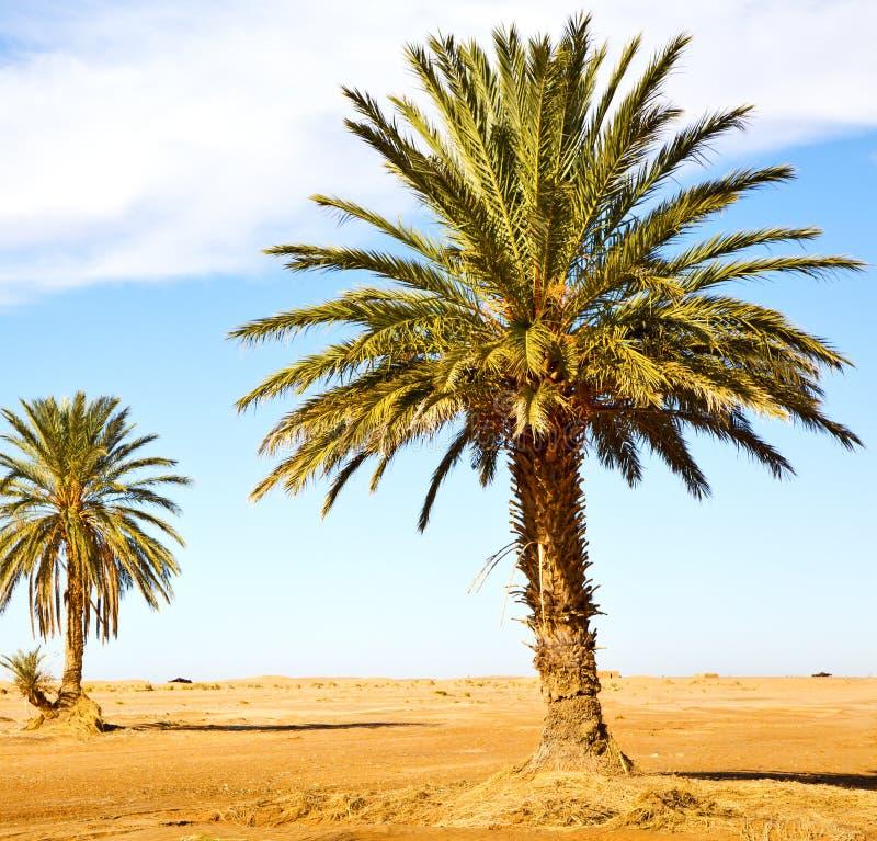 ладонь в дюне Марокко Сахары Африки oasi пустыни стоковые фото