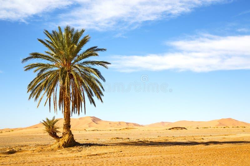 ладонь в oasi Марокко пустыни стоковое фото