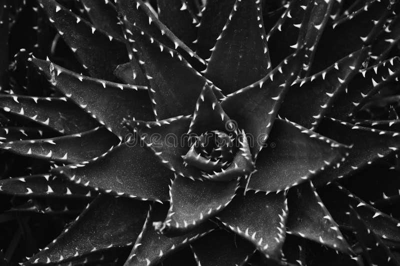 алоэ vera стоковое изображение rf